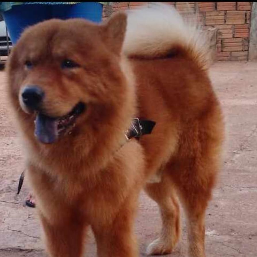 RECOMPENSA – Procura-se cão de raça desaparecido no Bairro Lagoinha