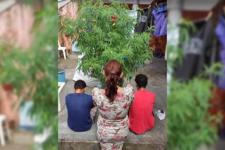 PM encontra pés de maconha enfeitados como árvores de Natal