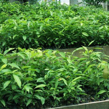 Mais de 300 produtores são beneficiados com a distribuição de 15 mil mudas de castanha-do-Brasil