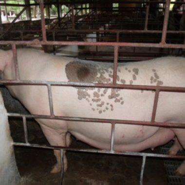 Idaron realiza monitoramento sorológico para prevenção da peste suína em Rondônia