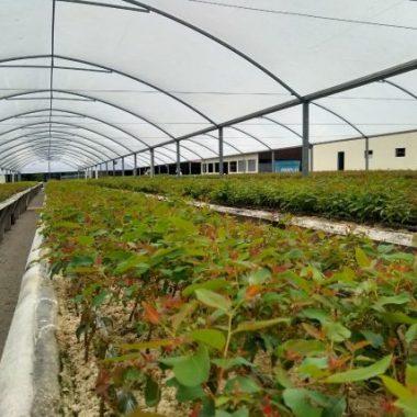 Parceria deve aumentar a produção de eucalipto na região do rio Machado e Sul de Rondônia