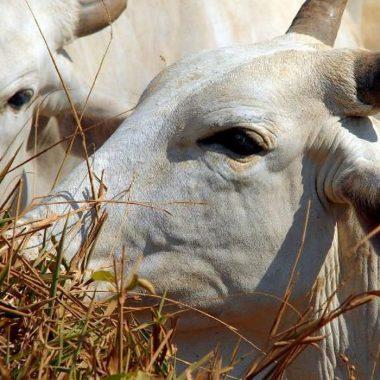 Abate de bovinos cai e o de suínos e frangos sobe no último trimestre