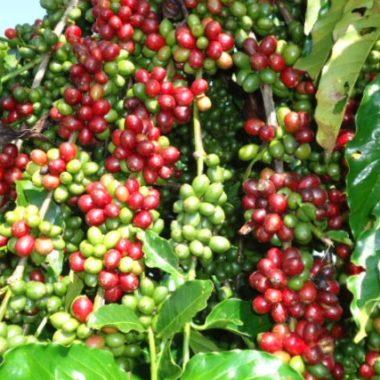 Período oficial da colheita do café se aproxima e Secretaria de Agricultura orienta produtores de Rondônia