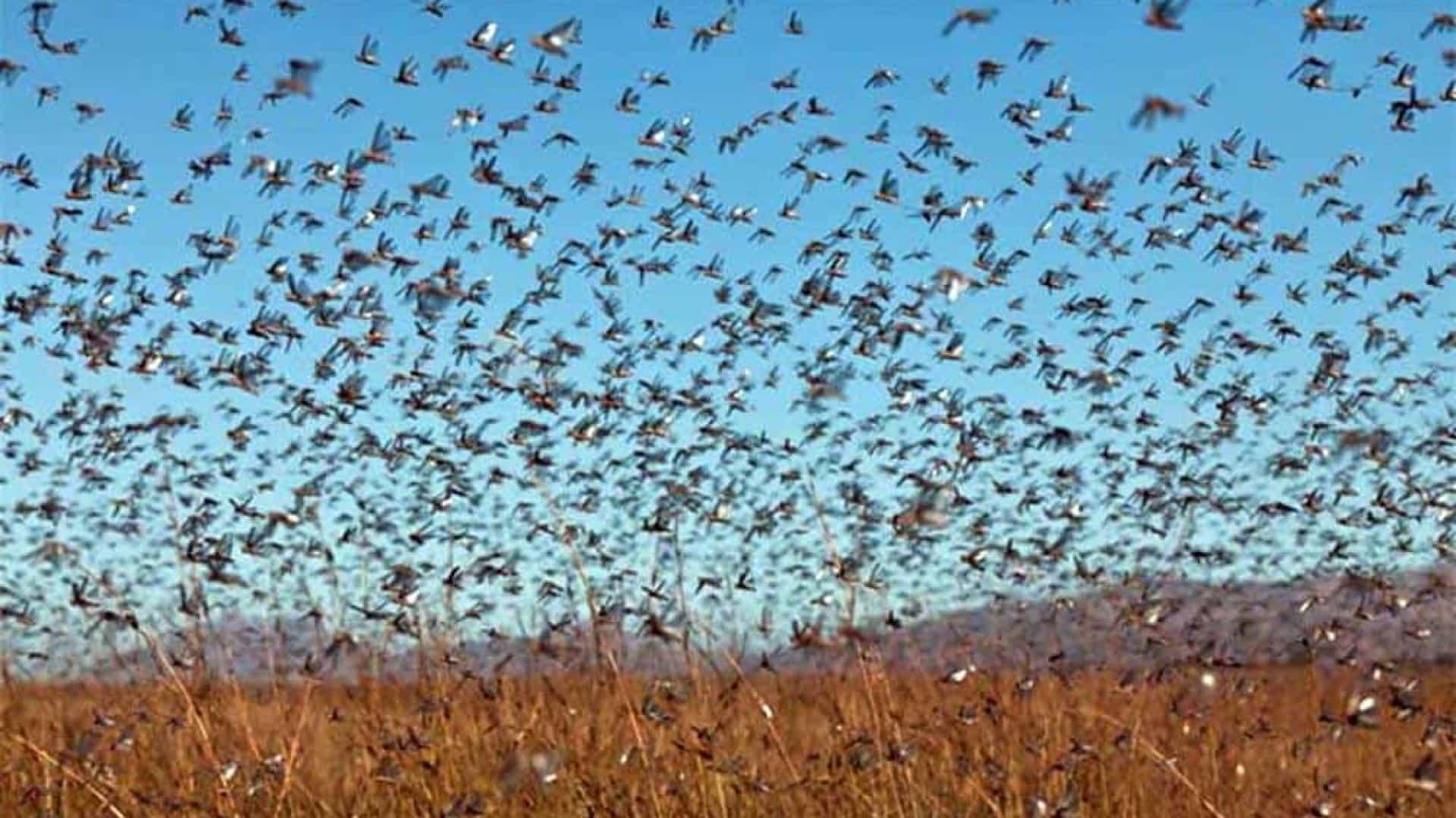 Nuvem de gafanhotos ameaça chegar no Brasil