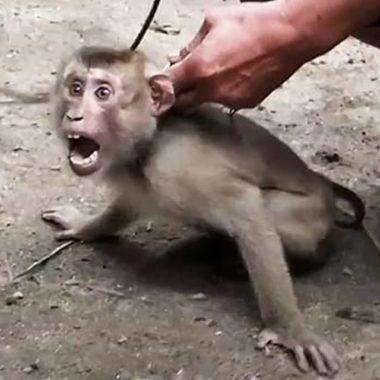 Filhotes de macacos tem dentes arrancados e são escravizados até a morte; veja vídeo
