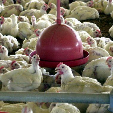 Brasil cobra retirada de embargo ao comércio de frango pelas Filipinas