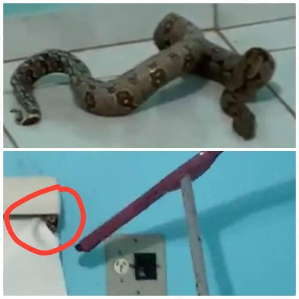 SUSTO – Casal encontra cobra Jibóia escondida dentro do quarto em Rondônia; VEJA VÍDEO