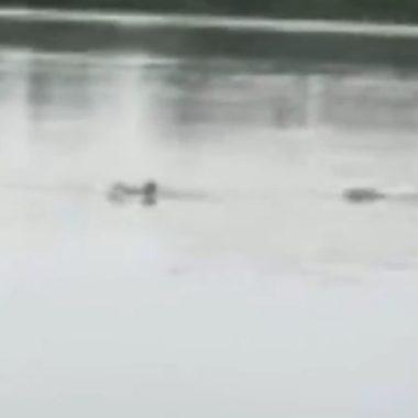 DESESPERO – Jacaré ataca e mata mulher que nadava próximo de flutuante; veja o vídeo